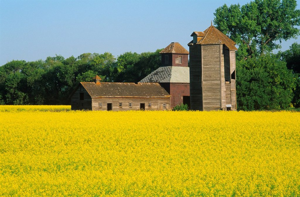 Stock Photo: 1990-2845 Old barns and canola field, Carberry, Manitoba, Canada