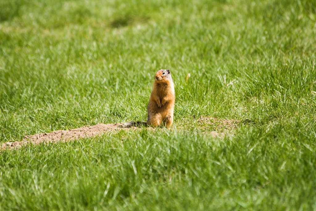 Stock Photo: 1990-28791 Columbia Ground Squirrel, Salmo, British Columbia, Canada