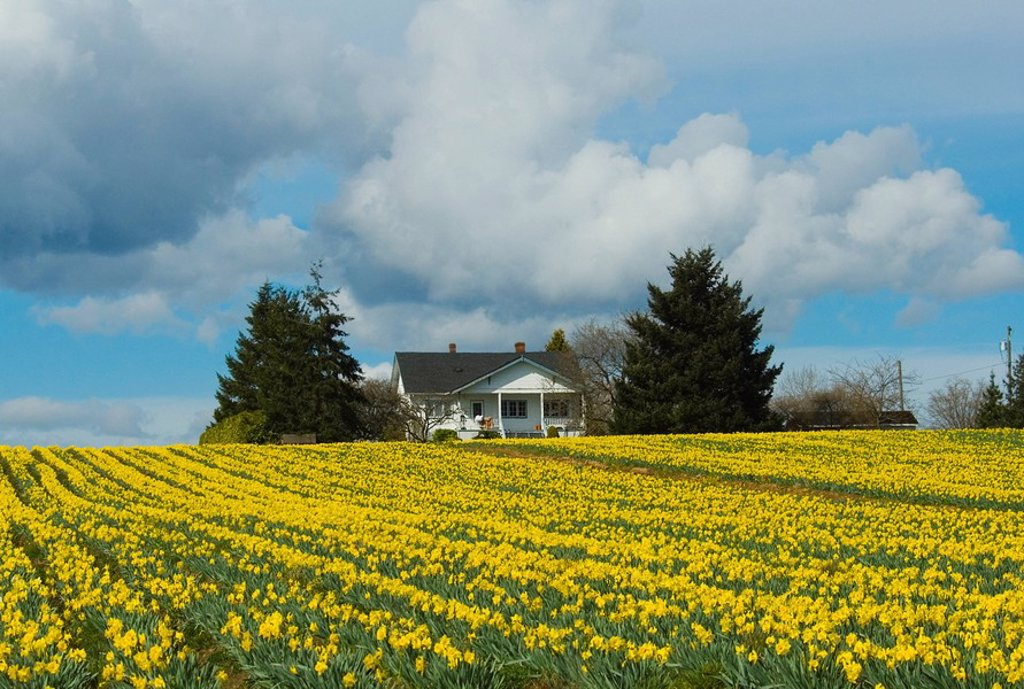 Daffodil farm, Vancouver Island, British Columbia, Canada : Stock Photo