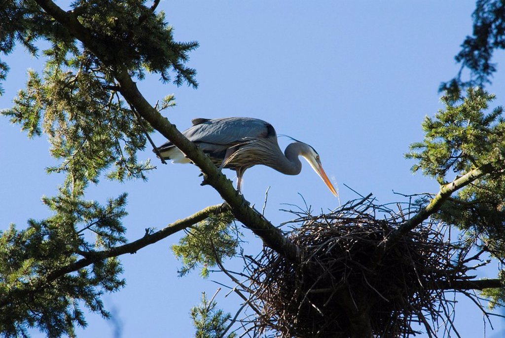 Great Blue Heron in Beacon Hill Park, Victoria, British Columbia, Canada : Stock Photo