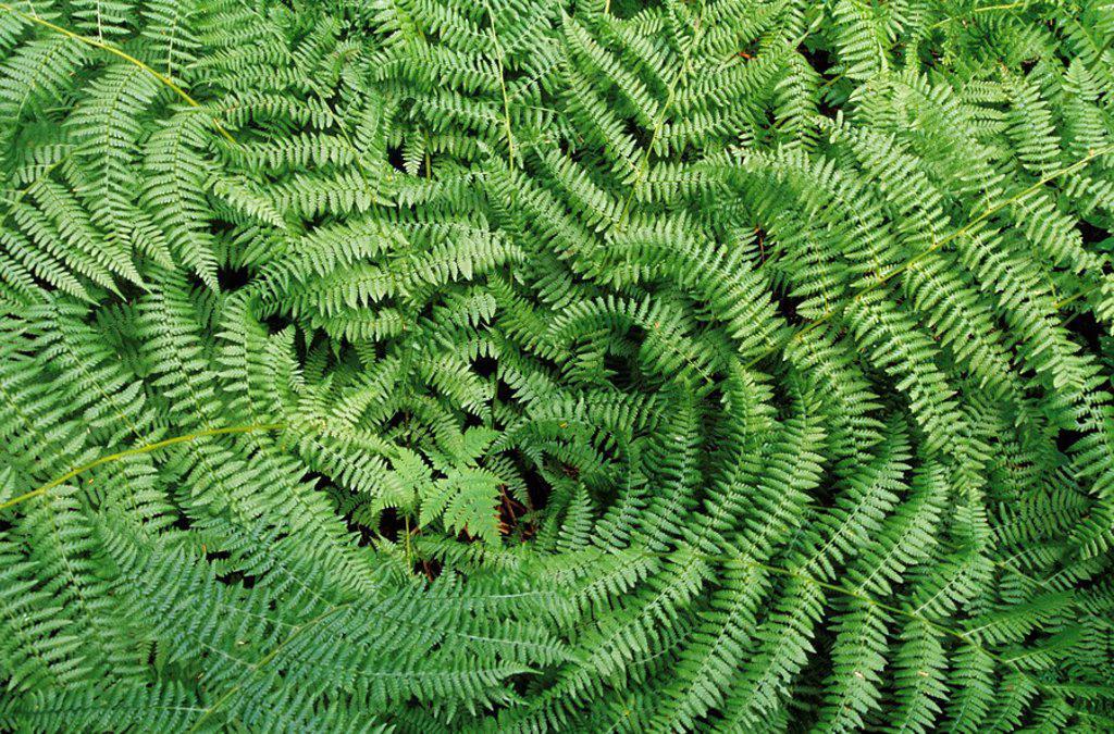 Ferns, Bowron Lake Provincial Park, British Columbia, Canada : Stock Photo