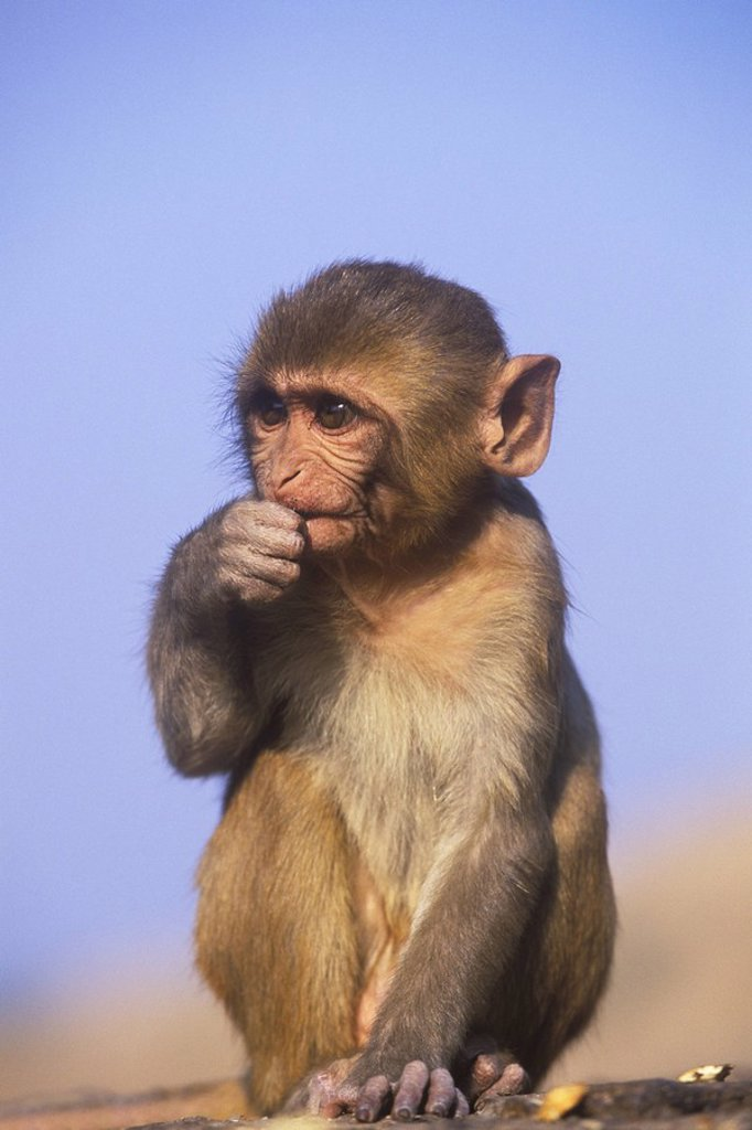 Stock Photo: 1990-29734 Rhesus macque Macaca mulatta , India, Jaipur at ´Monkey Temple´