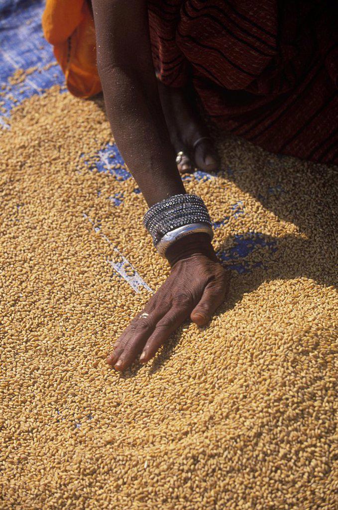 India, Rajastan, near Jaipur, at Amber, woman sifts grain : Stock Photo