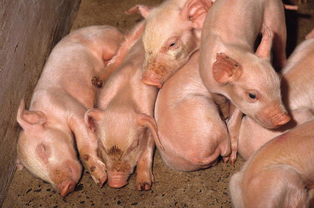 Swine, Prince Edward Island, Canada : Stock Photo