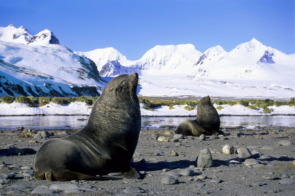 Antarctic fur seals Arctocephalus gazella bulls defending breeding territories, Salisbury Plains, South Georgia Island, Antarctica : Stock Photo