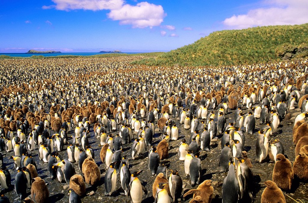 Adult king penguins Aptenodytes patagonicus and chicks, Salisbury Plains, South Georgia Island, southern Atlantic Ocean : Stock Photo