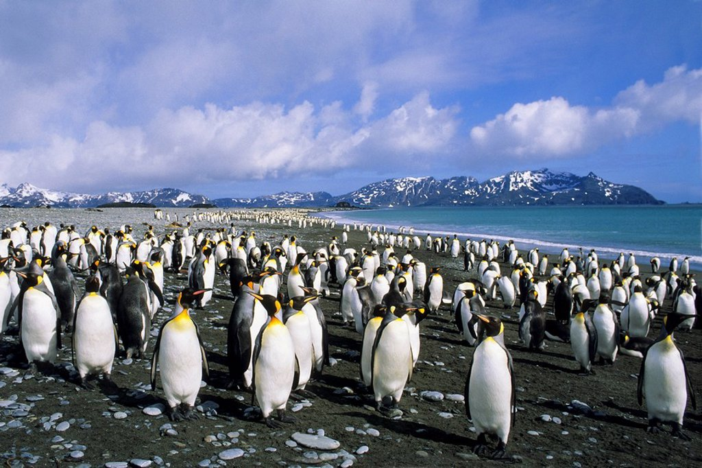King penguins Aptenodytes patagonicus loafing on the beach at Salisbury Plains, South Georgia Island, southern Atlantic Ocean : Stock Photo