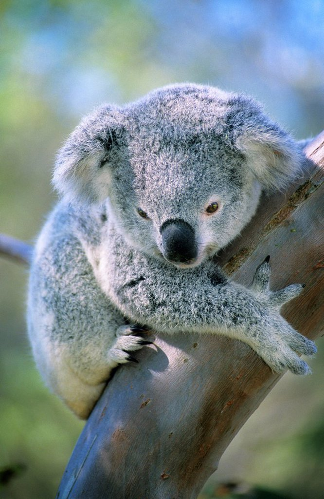 Stock Photo: 1990-30629 Juvenile koala Phascolarctos cinereus  Brisbane, Australia