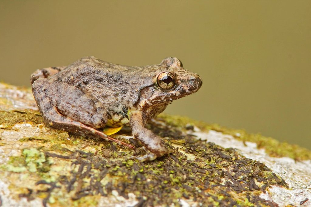 A frog perched on a mossy branch in Amazonian Ecuador. : Stock Photo