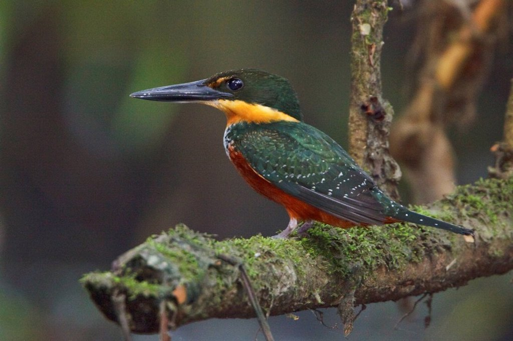 Green_and_Rufous Kingfisher Chloroceyle inda perched on a branch near the Napo River in Amazonian Ecuador. : Stock Photo