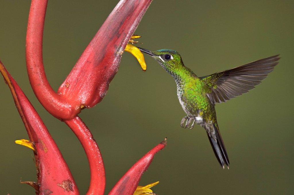 Stock Photo: 1990-32094 Green_crowned Brilliant Heliodoxa jacula feeding at a flower while flying in the Milpe reserve in northwest Ecuador.