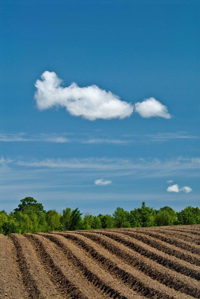 Newly planted potato near Thornton Ontario : Stock Photo