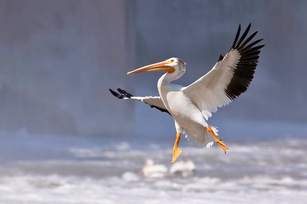 American White Pelican in flight. Red River, Lockport, Manitoba, Canada. : Stock Photo