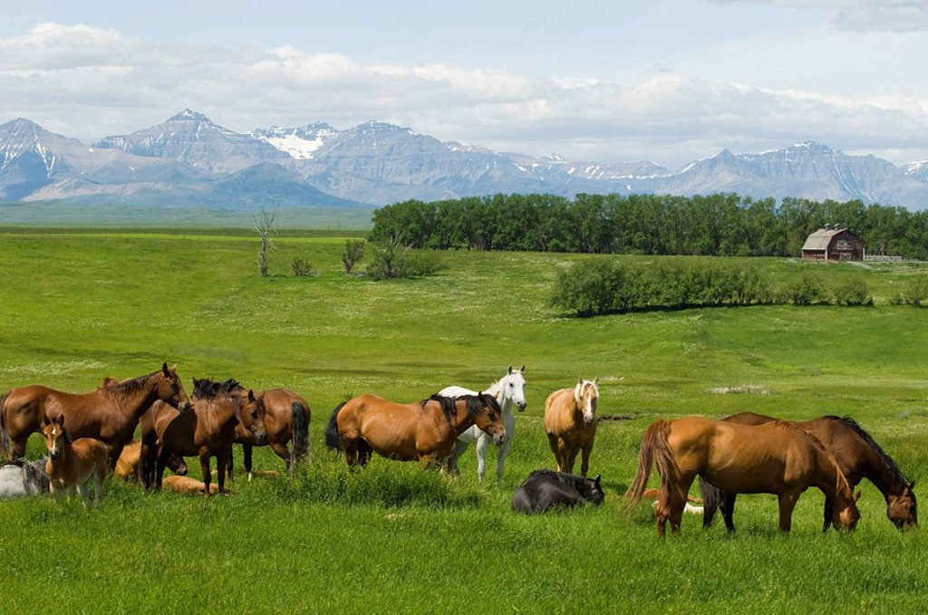 Horses Equus ferus caballus Females & Foals southwest Alberta Canada : Stock Photo
