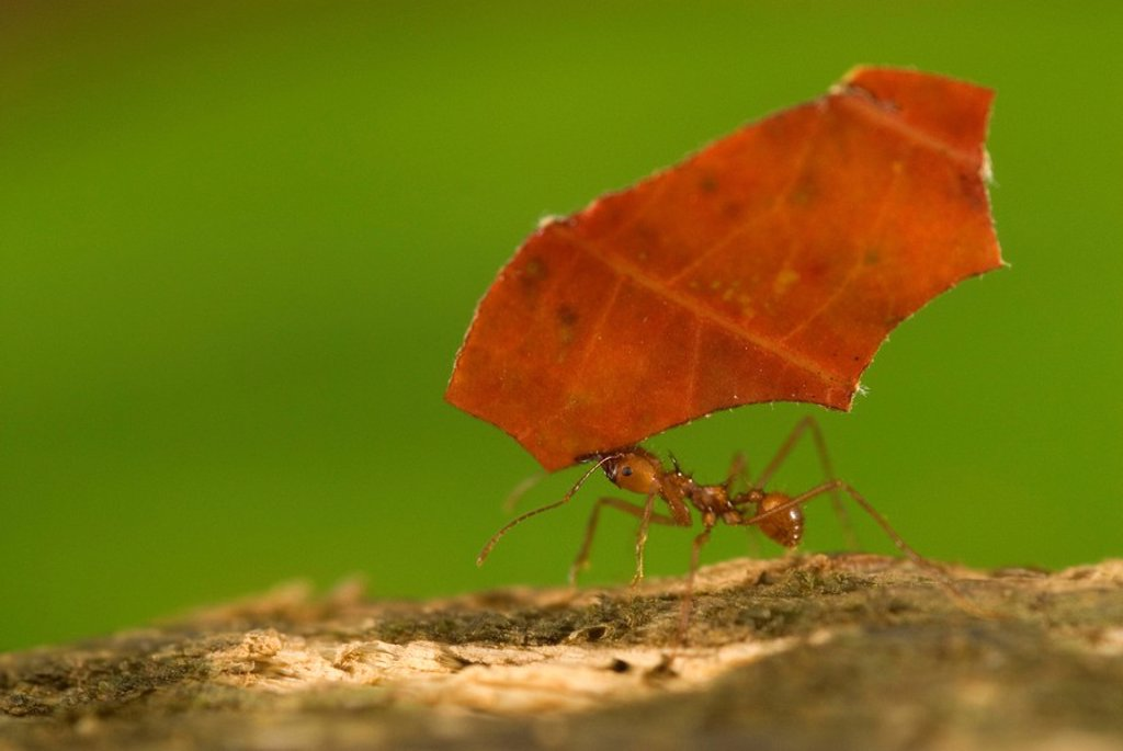 Leaf_cutter ant carries a red leaf in Corcovado, Costa Rica : Stock Photo