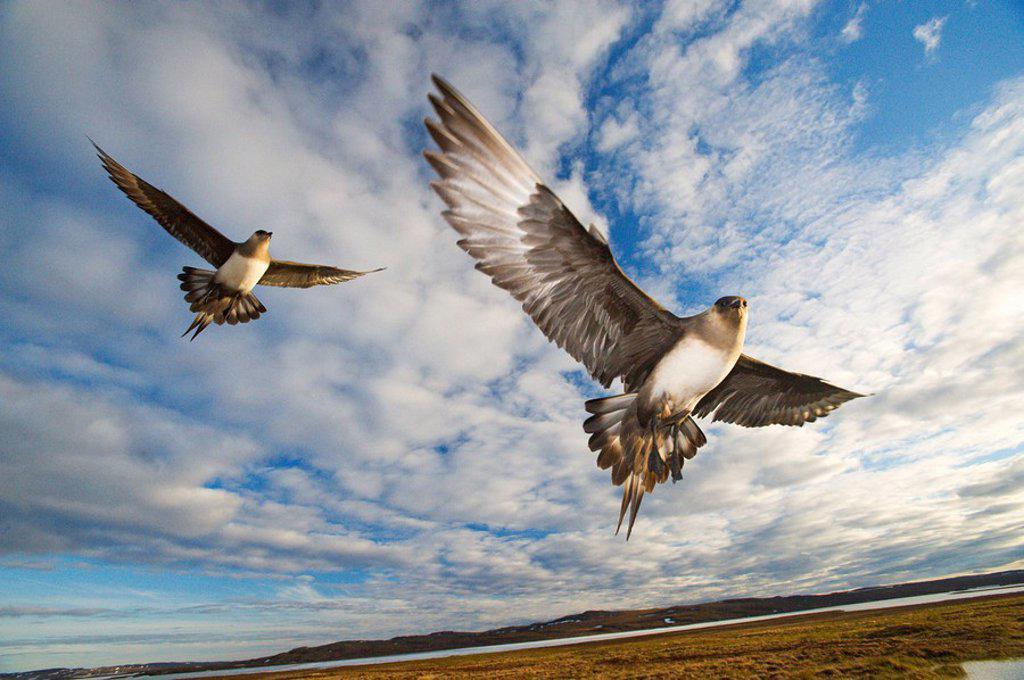 Parasitic Jaegers Stercorarius parasiticus defending a nearby nest, Nunavut, Canadian Arctic : Stock Photo