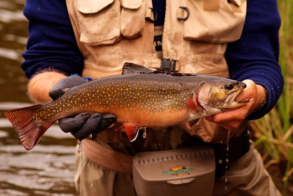 Fly fishing for spring brook trout in Algonquin park, Ontario, Canada : Stock Photo