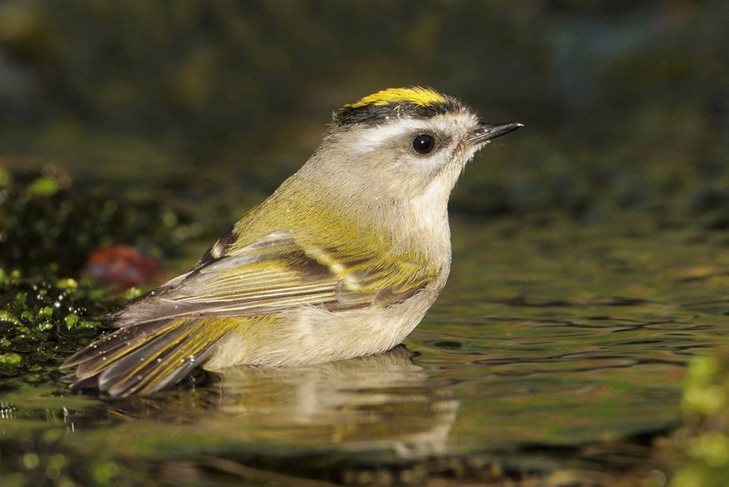 Golden_crowned Kinglet bathing in creek Victoria BC, Canada : Stock Photo