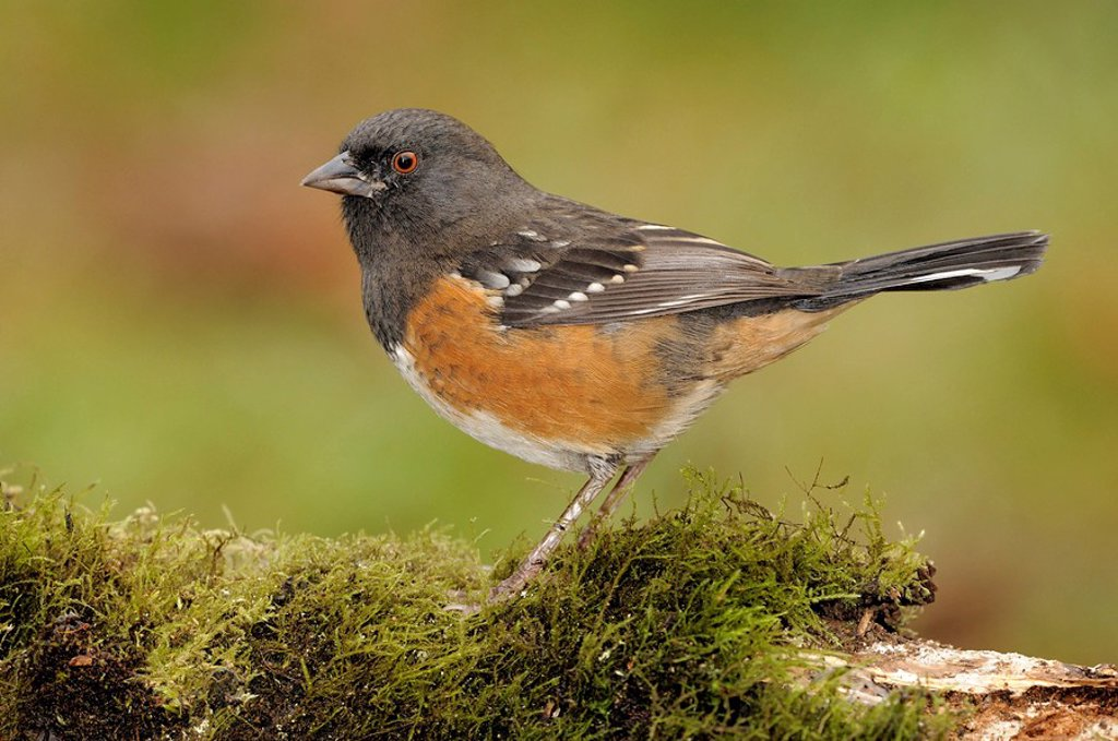 Spotted Towhee on mossy log at Victoria BC, Canada : Stock Photo