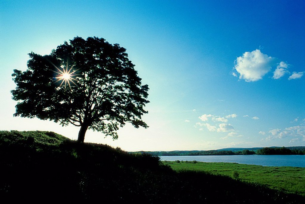 Maple Tree, Ottawa River, Plaisance, Quebec, Canada : Stock Photo