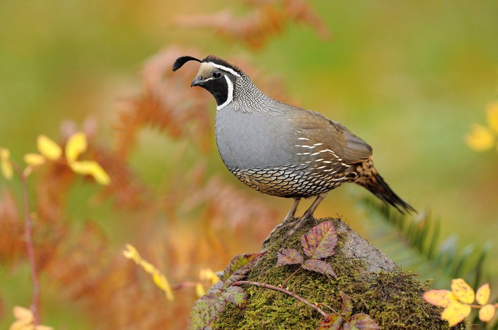 Stock Photo: 1990-34328 Male California Quail on mossy perch, Victoria BC, Canada