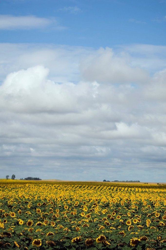 Stock Photo: 1990-34346 Southern Manitoba field of sunflowers. Prairie farmland.