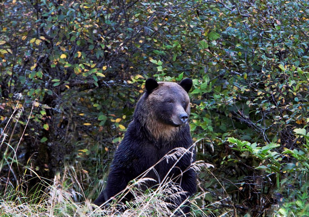 Grizzly bear in the Great Bear Rainforest of British Columbia Canada : Stock Photo