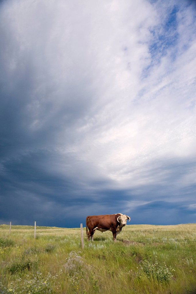 Stock Photo: 1990-34658 A herford bull walks through an Alberta field as a storm approaches