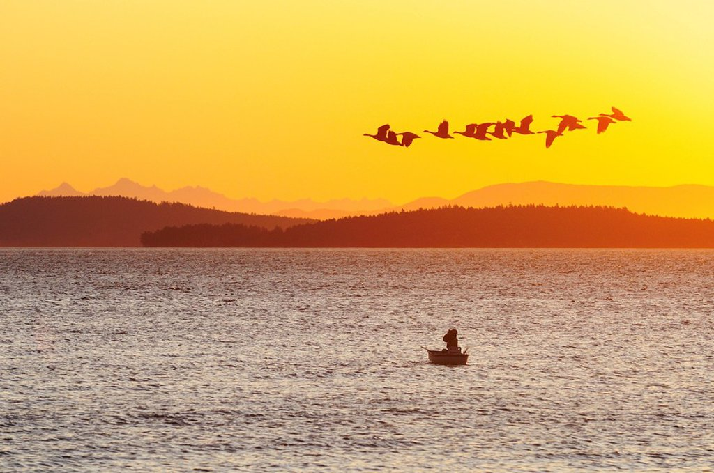Flock of Canada Geese flying over man with binoculars in a boat at dawn in Satellite Channel near Vancouver Island, British Columbia, Canada : Stock Photo
