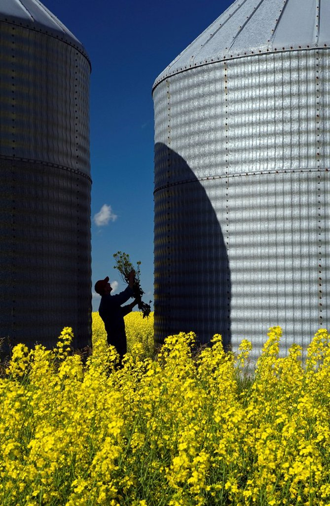 Stock Photo: 1990-34867 a man looks at bloom stage canola between two grain binssilos, Tiger Hills, Manitoba, Canada