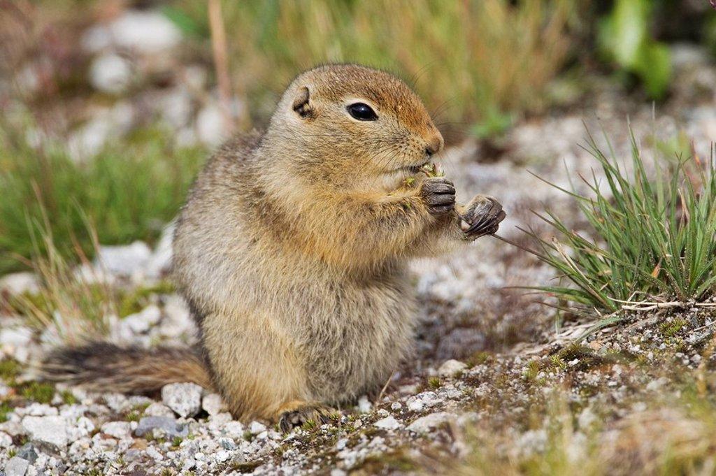 Arctic Ground Squirrel Parka Squirrel Spermphilius parryii, Haines Summit, Haines Highway, Tatshenshini-Alsek park, British Columbia, Canada : Stock Photo