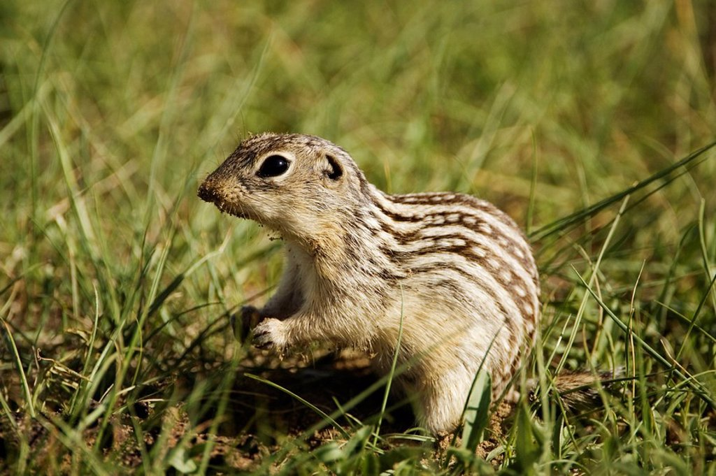 A thirteen-lined ground squirrel striped gopher Spermophilus tridecemlineatus, Great Sandhills, Saskatchewan, Canada : Stock Photo