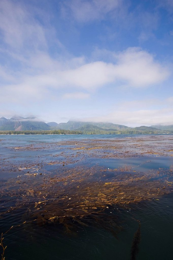 Rich kelp beds, teaming with life and crystal clear waters abound in the Kyuquot Sound area near Spring Island. Kyuquot Sound, Northern Vancouver Island, British Columbia, Canada. : Stock Photo