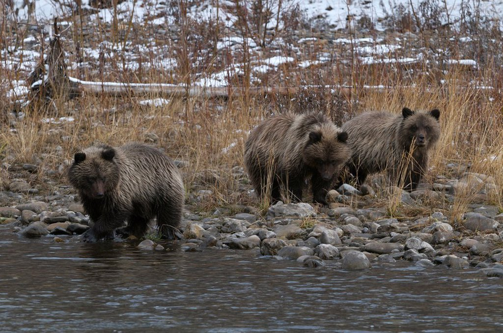 Grizzly Bear 1st Year Cubs Ursus arctos on Fishing Branch River, Ni´iinlii Njik Ecological Reserve, Yukon Territory, Canada : Stock Photo