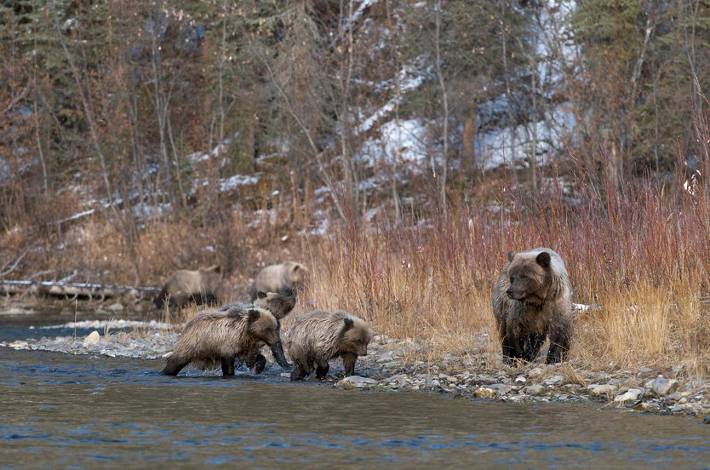 Stock Photo: 1990-36207 Grizzly Bear Sow and 1st year cubs Ursus arctos on Fishing Branch River, Ni´iinlii Njik Ecological Reserve, Yukon Territory, Canada