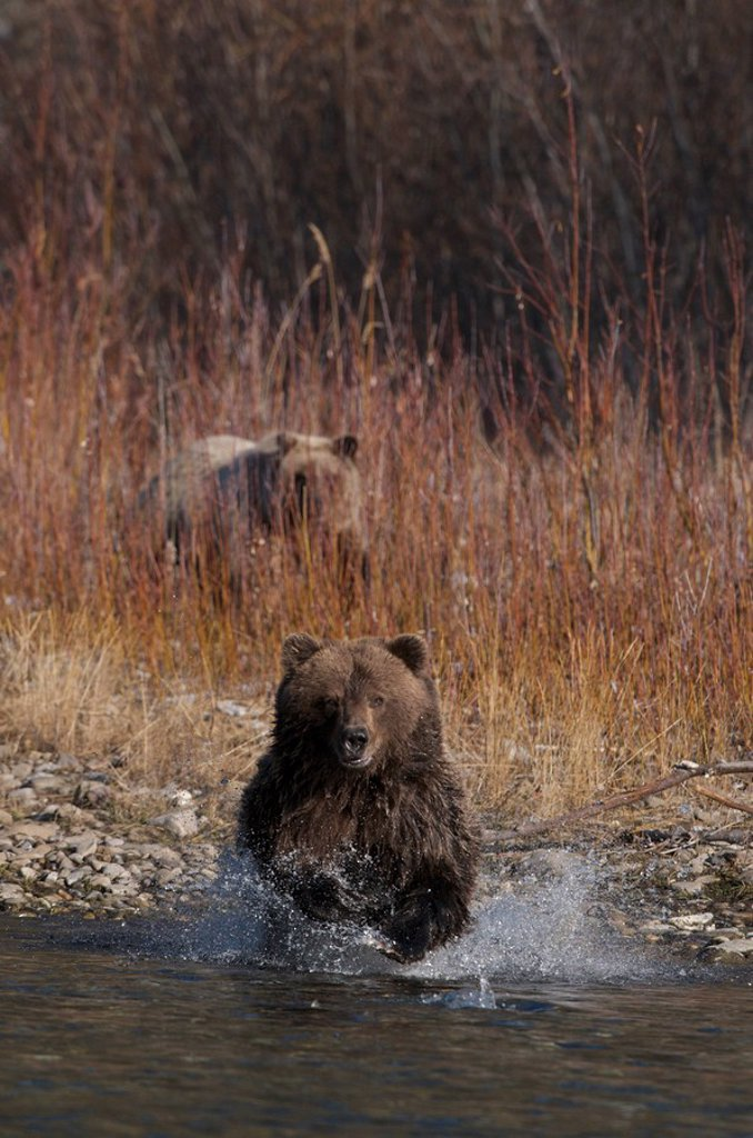 Stock Photo: 1990-36213 Grizzly Bear Ursus arctos fishing on Fishing Branch River, Ni´iinlii Njik Ecological Reserve, Yukon Territory, Canada
