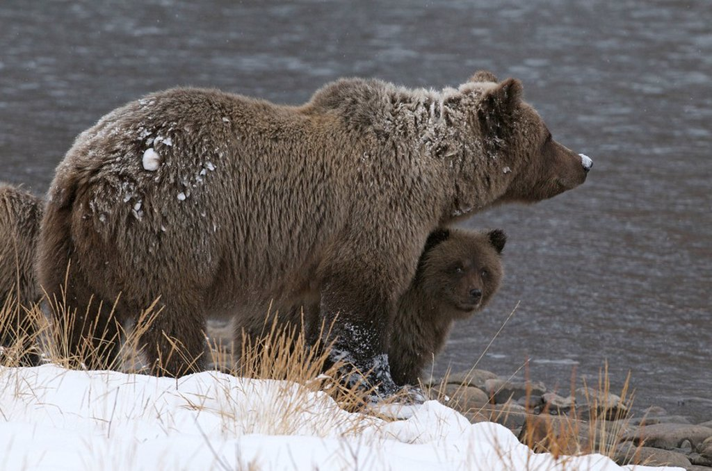 Stock Photo: 1990-36226 Grizzly Bear Sow and 1st year cubs Ursus arctos along Fishing Branch River, Ni´iinlii Njik Ecological Reserve, Yukon Territory, Canada