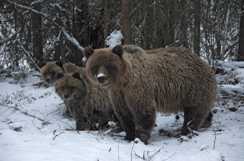 Grizzly Bear Sow and 1st year cubs Ursus arctos near Fishing Branch River, Ni´iinlii Njik Ecological Reserve, Yukon Territory, Canada : Stock Photo