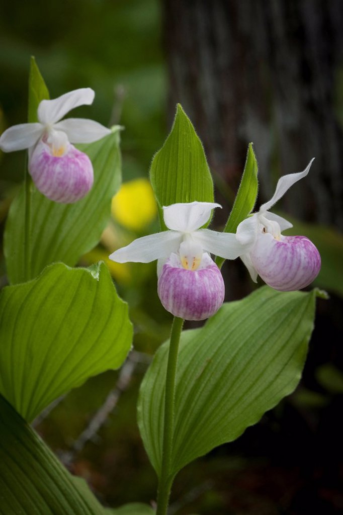 Stock Photo: 1990-36320 Showy or Queen Lady´s Slippers cypripedium reginae in the Purdon Conservation Area _ Mississippi Valley Conservation near Perth, Ontario, Canada