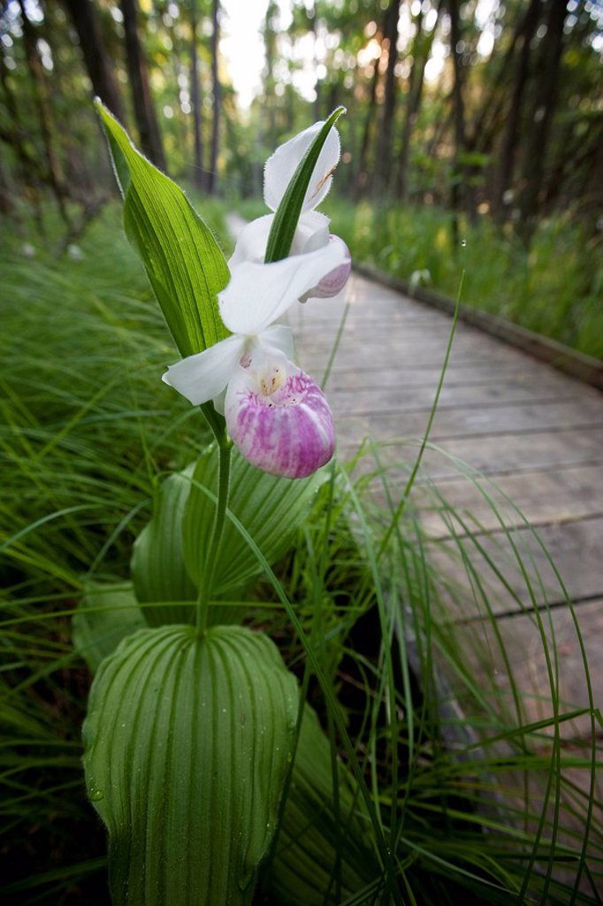 Showy or Queen Lady´s Slippers cypripedium reginae in the Purdon Conservation Area _ Mississippi Valley Conservation near Perth, Ontario, Canada : Stock Photo