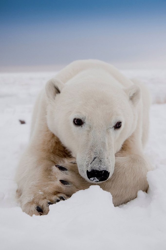 Close_up wide angle head_shot of Polar Bear laying down Ursus maritimus on the coast of Hudson Bay near the Seal River estuary north of Churchill, in Manitoba, Canada : Stock Photo