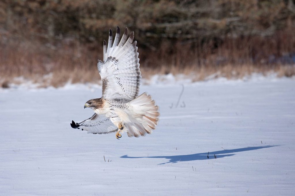 A Red_tailed Hawk Buteo jamaicensis flies with talons ready to catch its prey in the snow : Stock Photo