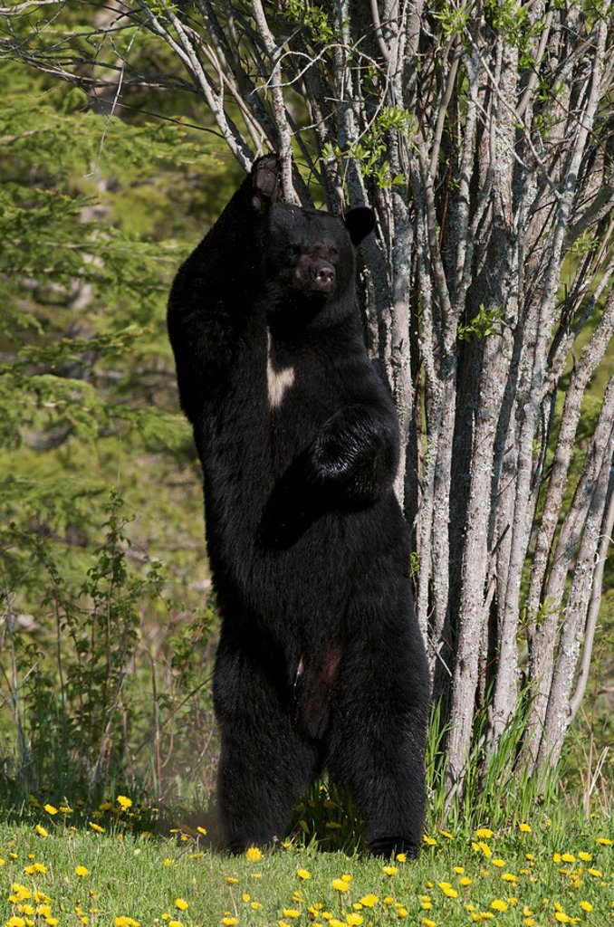Wild American Black Bear standing up against tree to scratch and leave scent. Male, adult. Ursus americanus. Sleeping Giant Provincial Park, Ontario, Canada. : Stock Photo