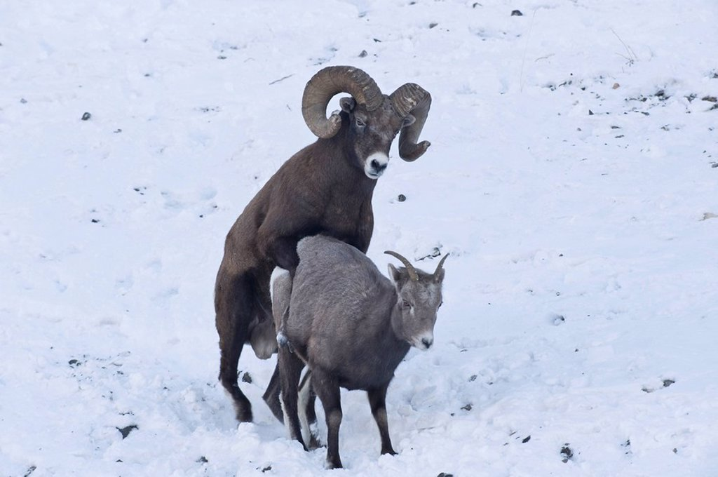 Stock Photo: 1990-36796 A large mature Rocky Mountain Bighorn Sheep Ovis canadensis ram mating with a female on a snow covered slope in Jasper National Park, Alberta, Canada.
