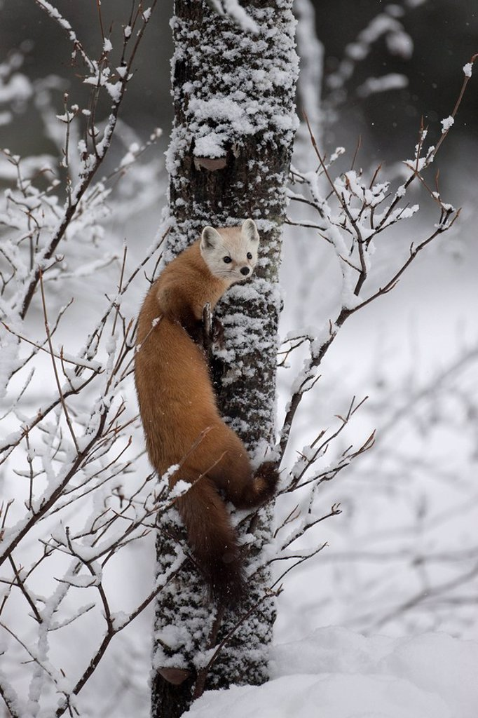 American Marten Martes americana on a snow covered tree in Algonquin Provincial Park, Ontario, Canada : Stock Photo
