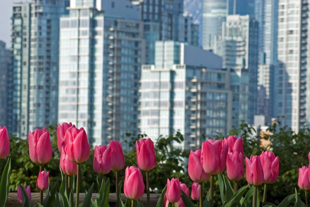 Tulips and a view of downtown from Choklit Park, Vancouver, British Columbia, Canada. : Stock Photo