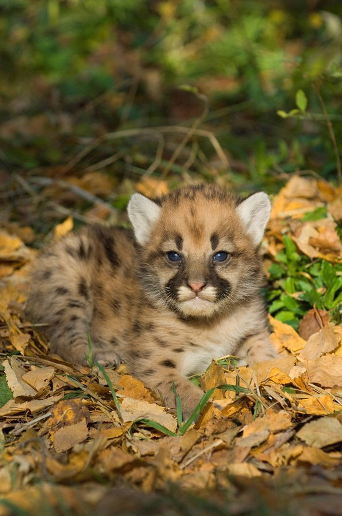Cougar kitten Puma concolor 2 weeks old, in autumn leaves. : Stock Photo