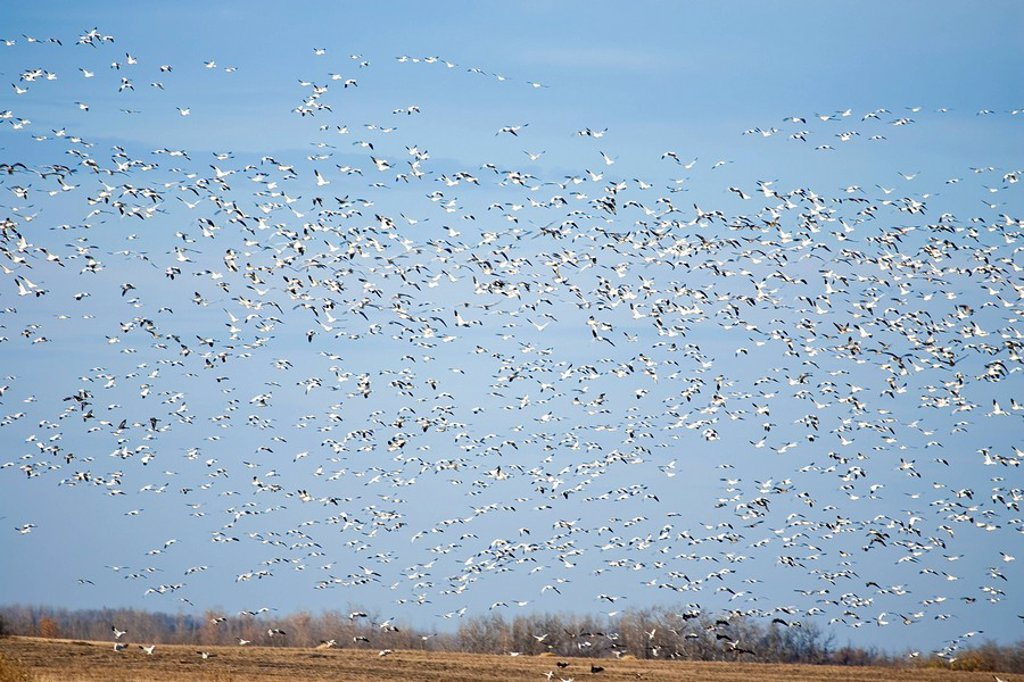 Stock Photo: 1990-37445 Large flock of Snow Geese Chen caerulescens above farm field in rural Alberta, Canada.