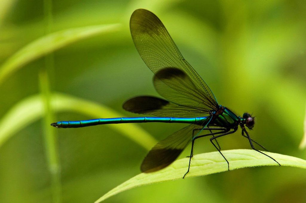 Stock Photo: 1990-3746 Ebony Jewelwing Damselfly Calopteryx maculata Male resting on leaf, Canada