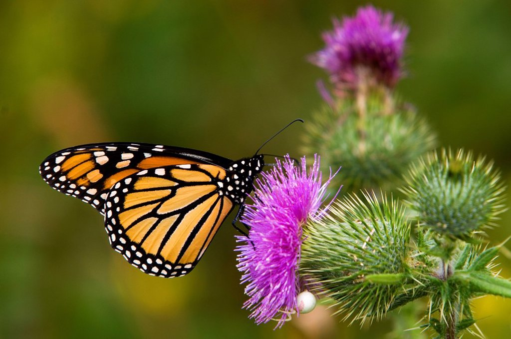 Stock Photo: 1990-3748 Monarch butterfly Danaus plexippus Feeding on thistle, Canada